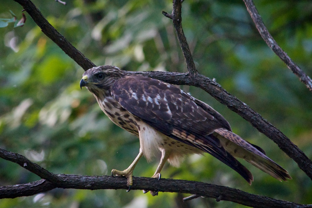 Broad-winged Hawk.jpg