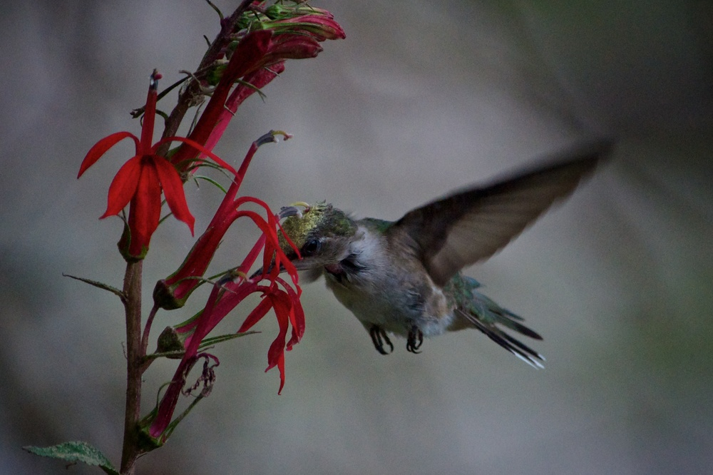 Ruby-throated Hummingbird (1).jpg