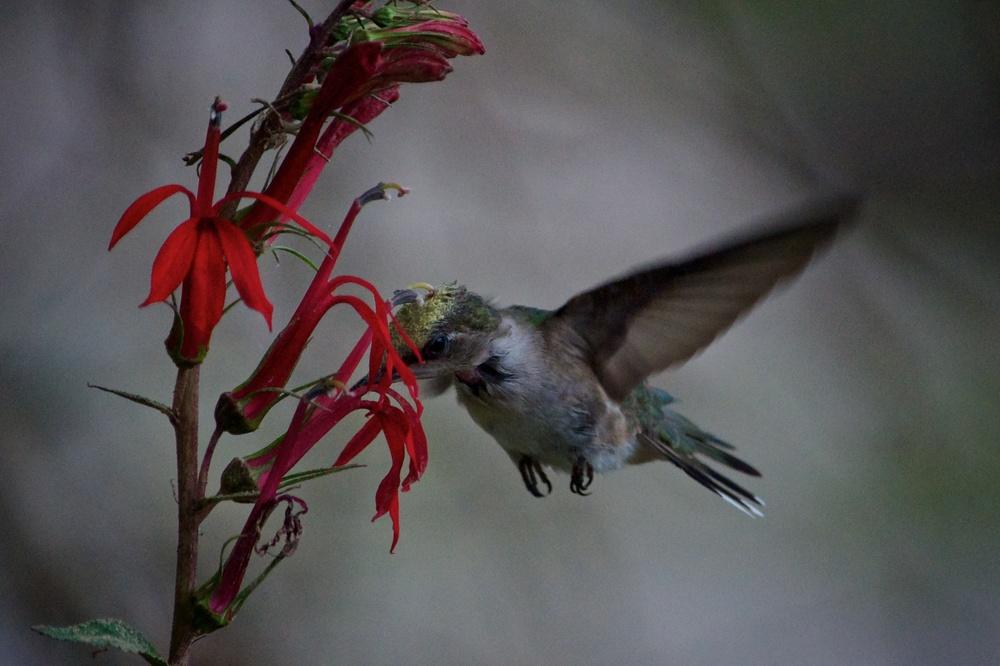 Ruby-throated Hummingbird (1).jpg