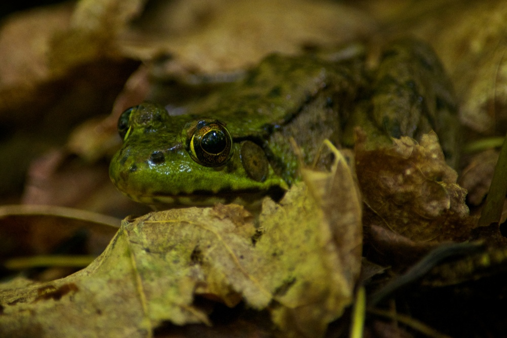 nature, wildlife, animal, amphibian, frog, northern green frog