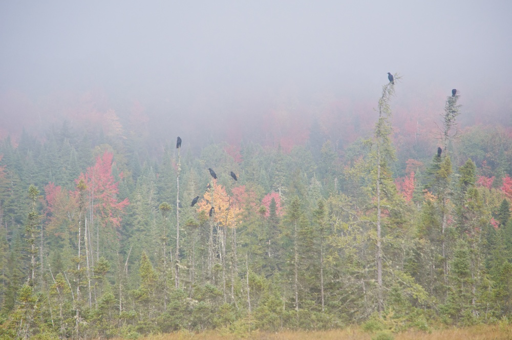 nature, landscape, forest, trees, pine trees, fog, ravens, birds