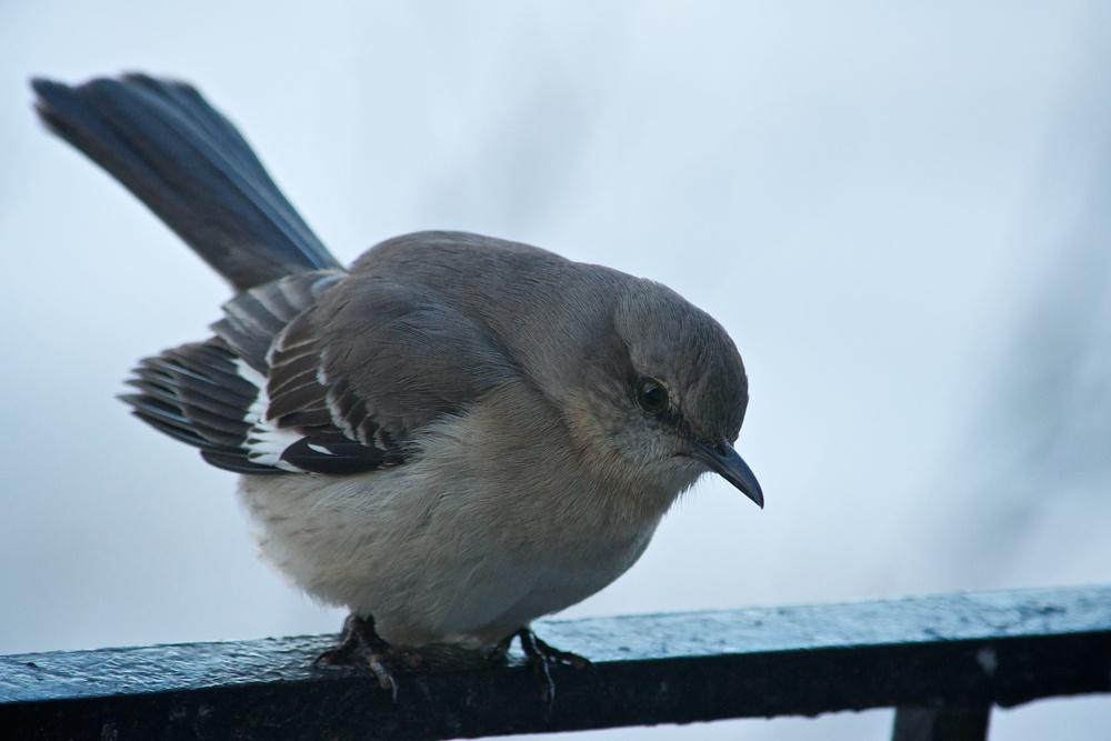 Northern Mockingbird (1).jpg