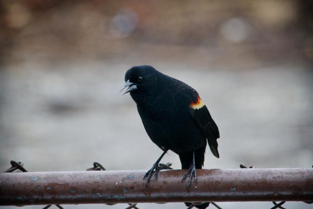 Red-winged Blackbird (1).jpg