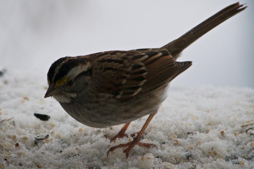 White-throated Sparrow (1).jpg