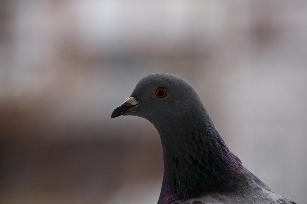 fucking pigeon.jpg