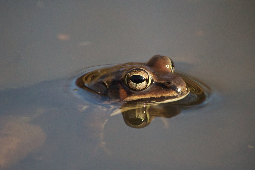 Northern Green Frog (1).jpg