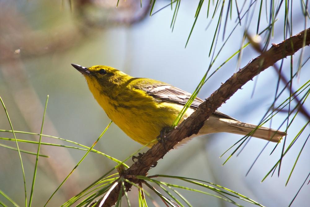 Pine Warbler 4.jpg