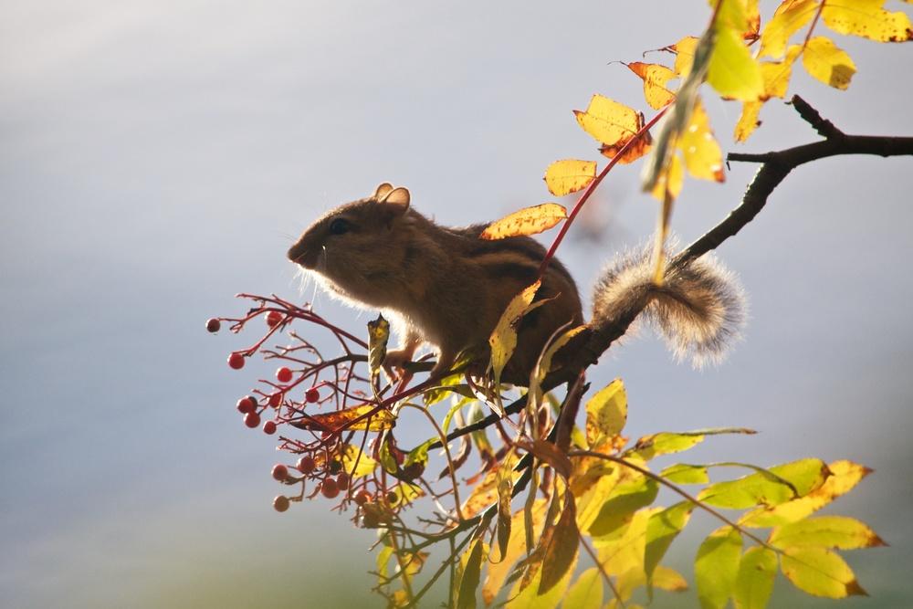 nature, wildlife, animal, mammal, rodent, chipmunk, eastern chipmunk