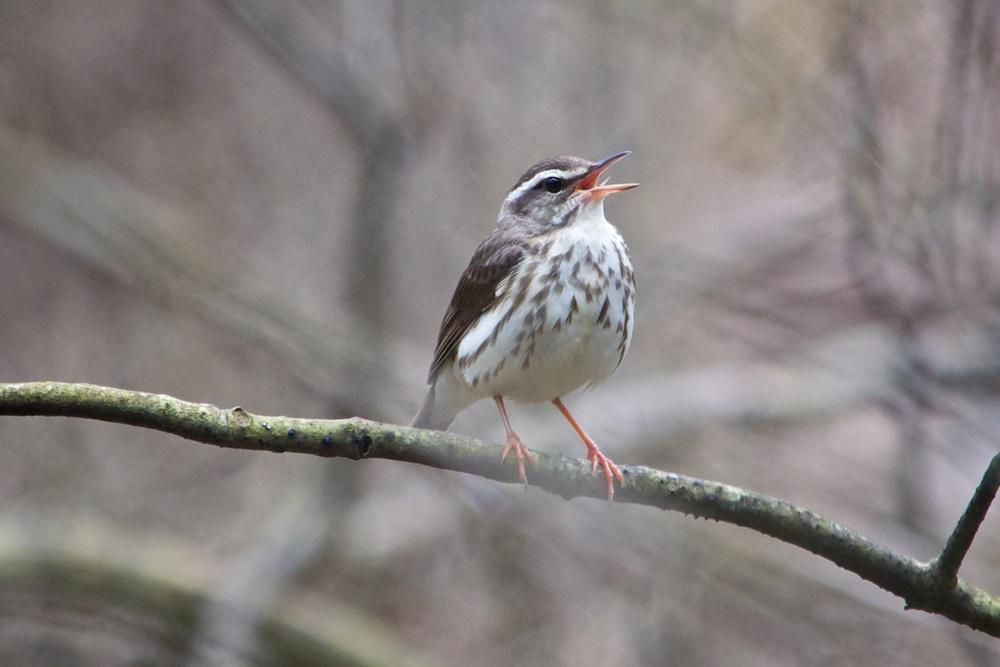 nature, wildlife, animal, bird, warbler, louisiana waterthrush