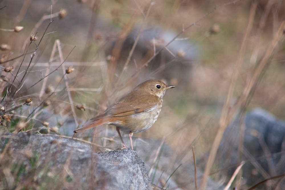 nature, wildlife, animal, bird, thrush, hermit thrush