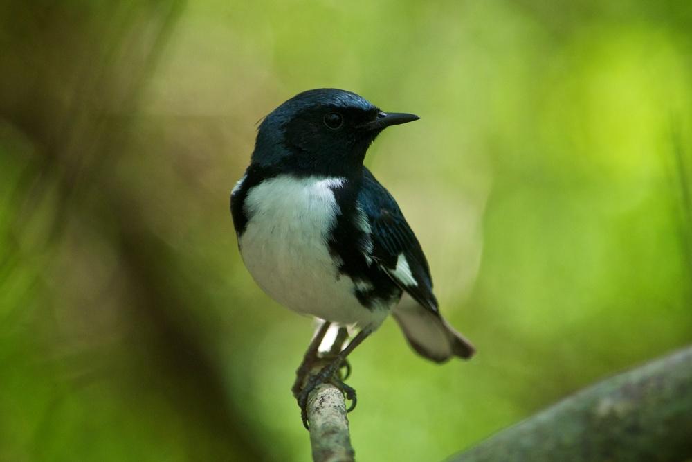 nature, wildlife, animal, bird, warbler, black-throated blue warbler