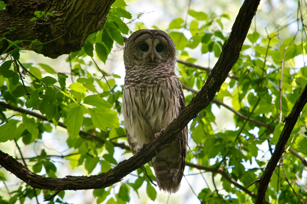 nature, wildlife, animal, bird, owl, barred owl