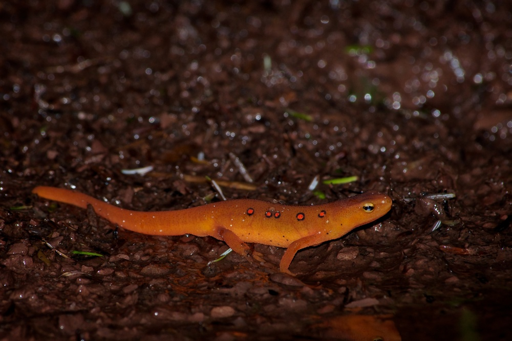 Red-spotted Newt.jpg