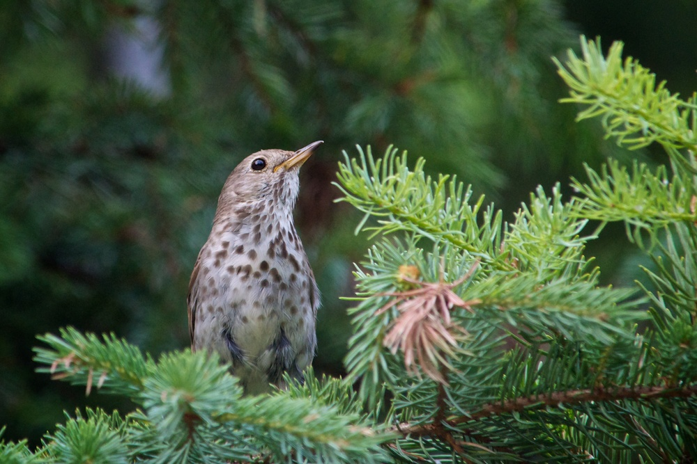 nature, wildlife, animal, bird, thrush, hermit thrush