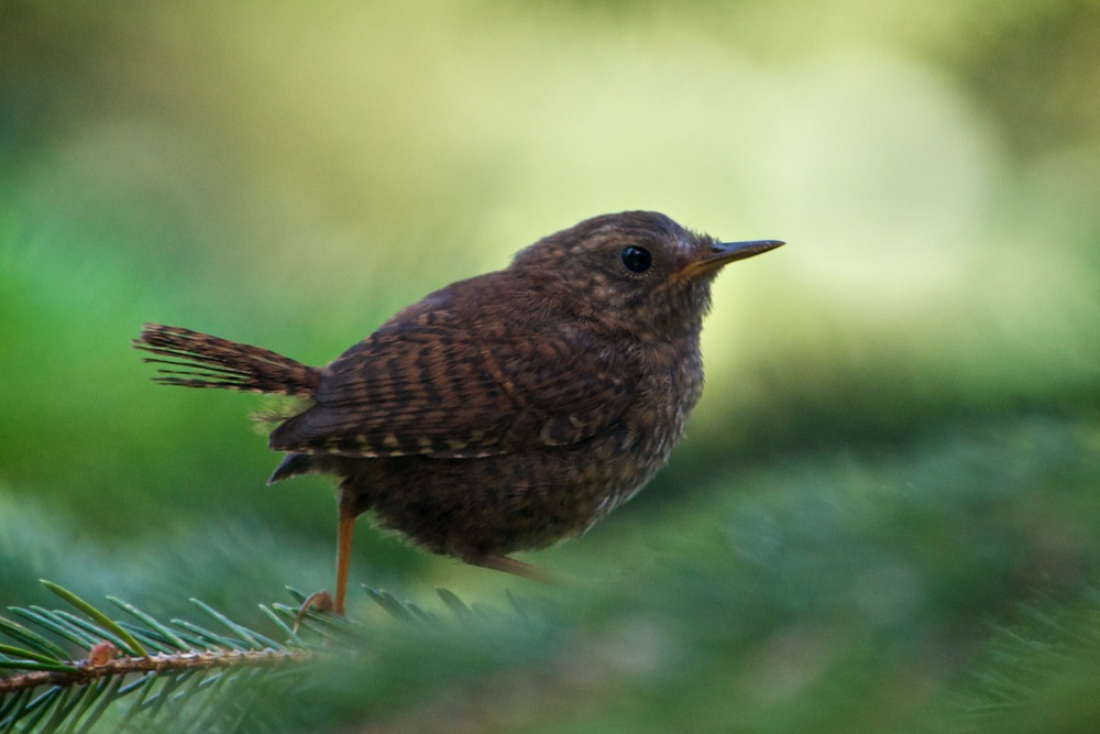 nature, wildlife, animal, bird, wren, pacific wren