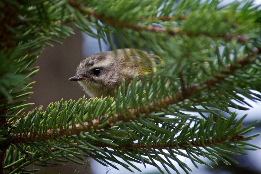 nature, wildlife, animal, bird, kinglet, golden-crowned kinglet
