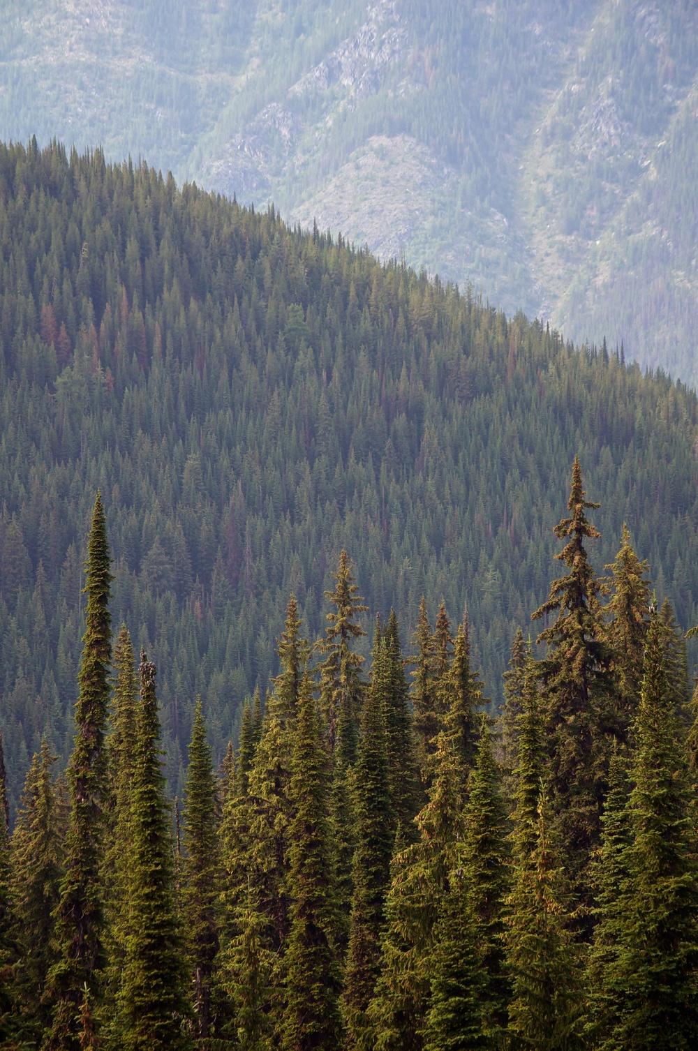 Pines 1.jpg