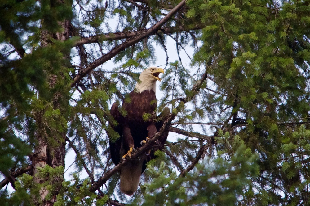 nature, wildlife, animal, bird, raptor, bird of prey, eagle, bald eagle