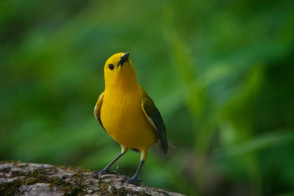 Prothonotary Warbler (2).jpg
