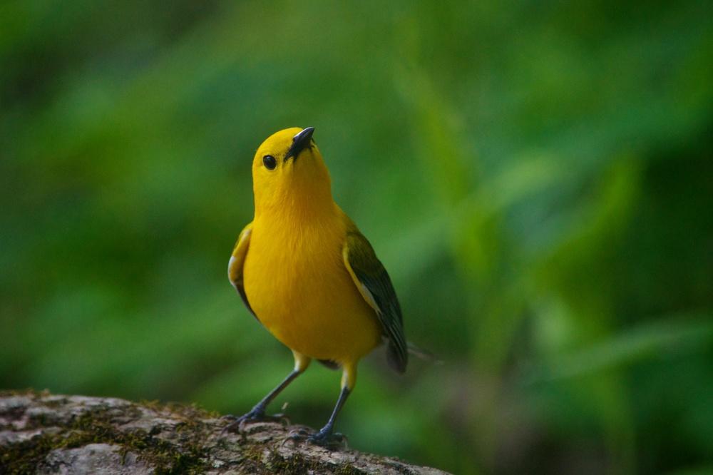 Prothonotary Warbler (2).jpg