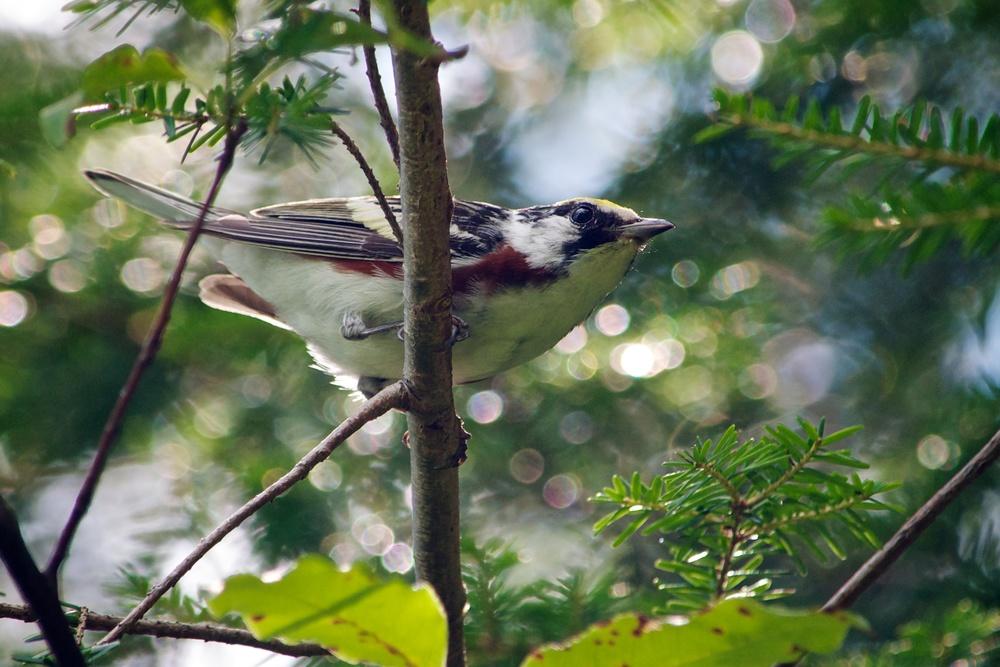 nature, wildlife, animal, bird, warbler, chestnut-sided warbler