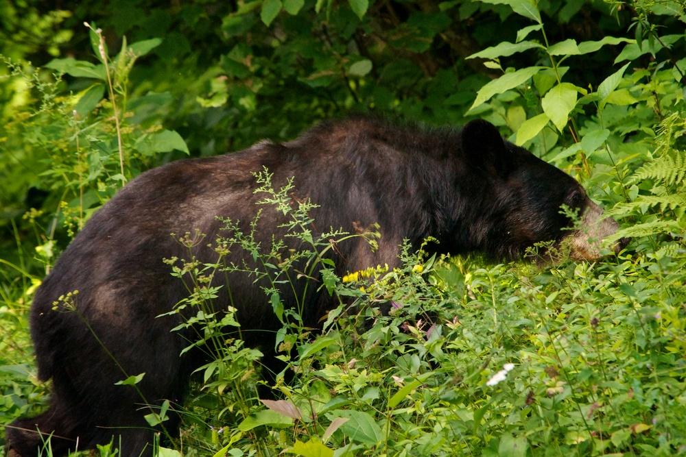 nature, wildlife, animal, bear, black bear