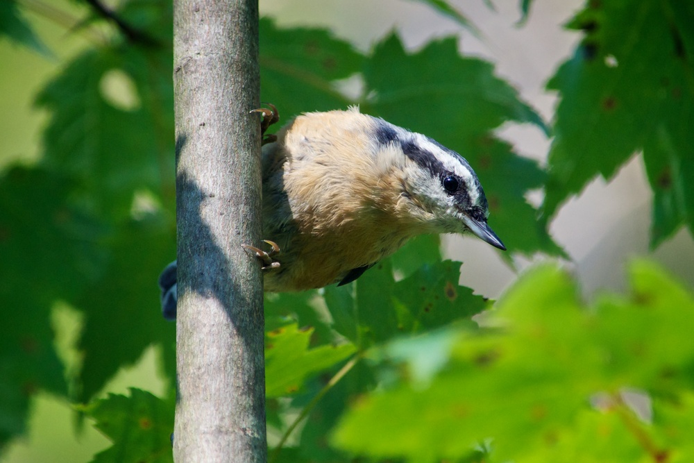 nature, wildlife, animal, bird, nuthatch, red-breasted nuthatch