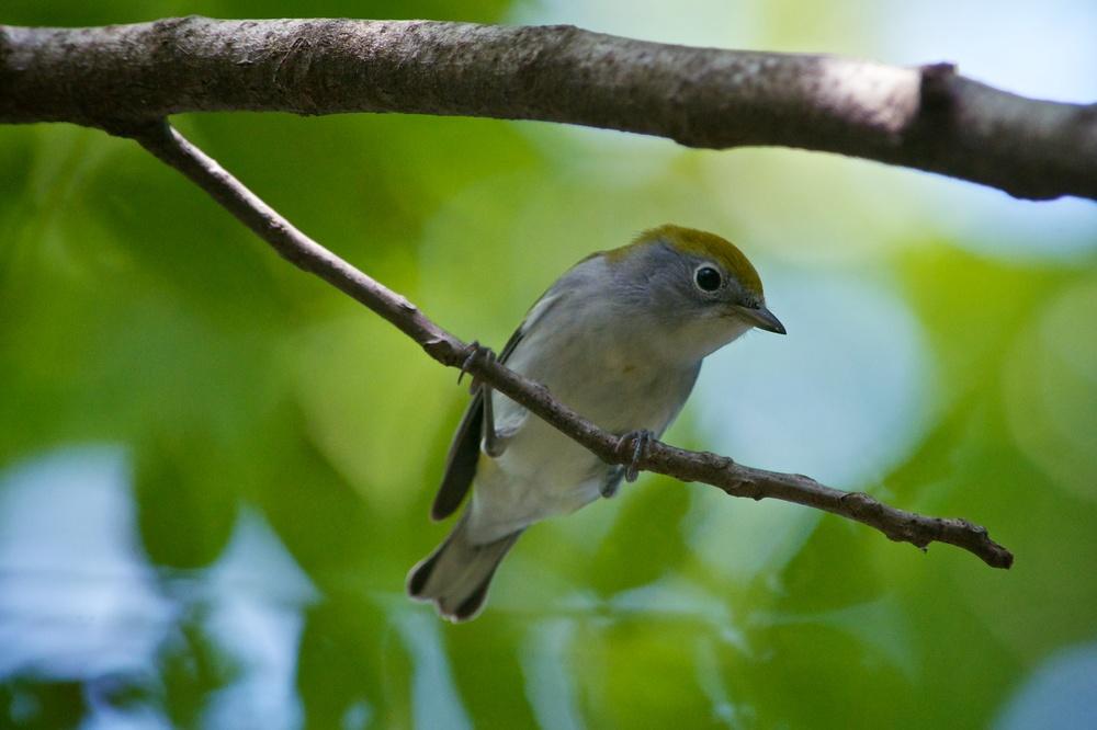 Chestnut-sided Warbler (2).jpg