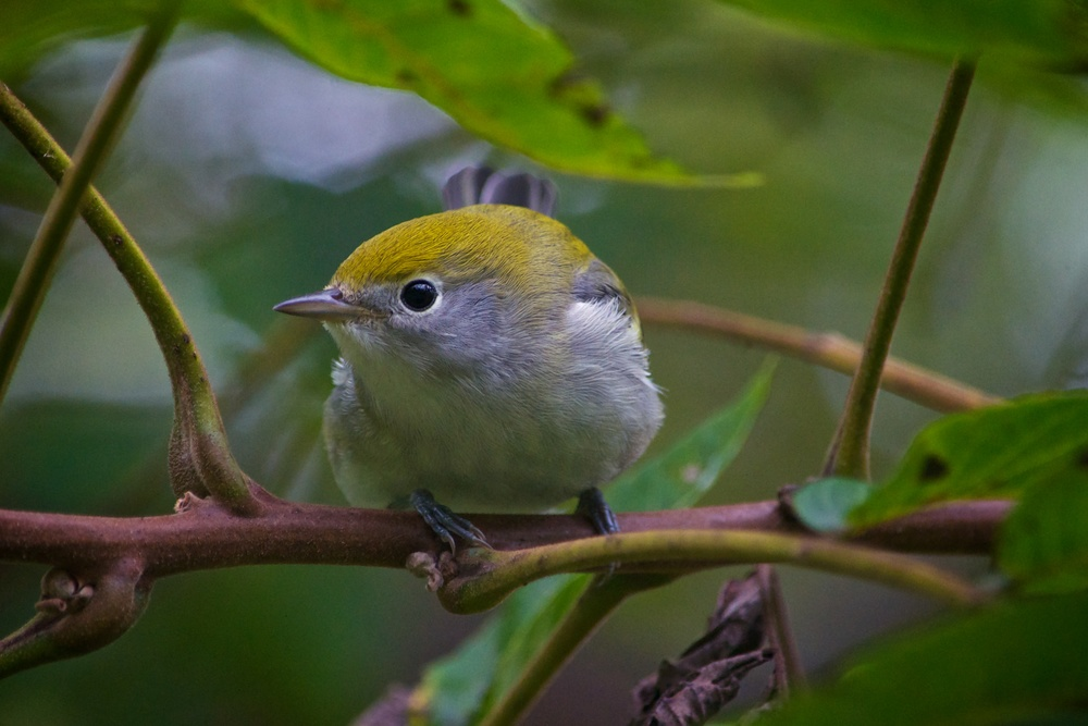 Chestnut-sided Warbler.jpg