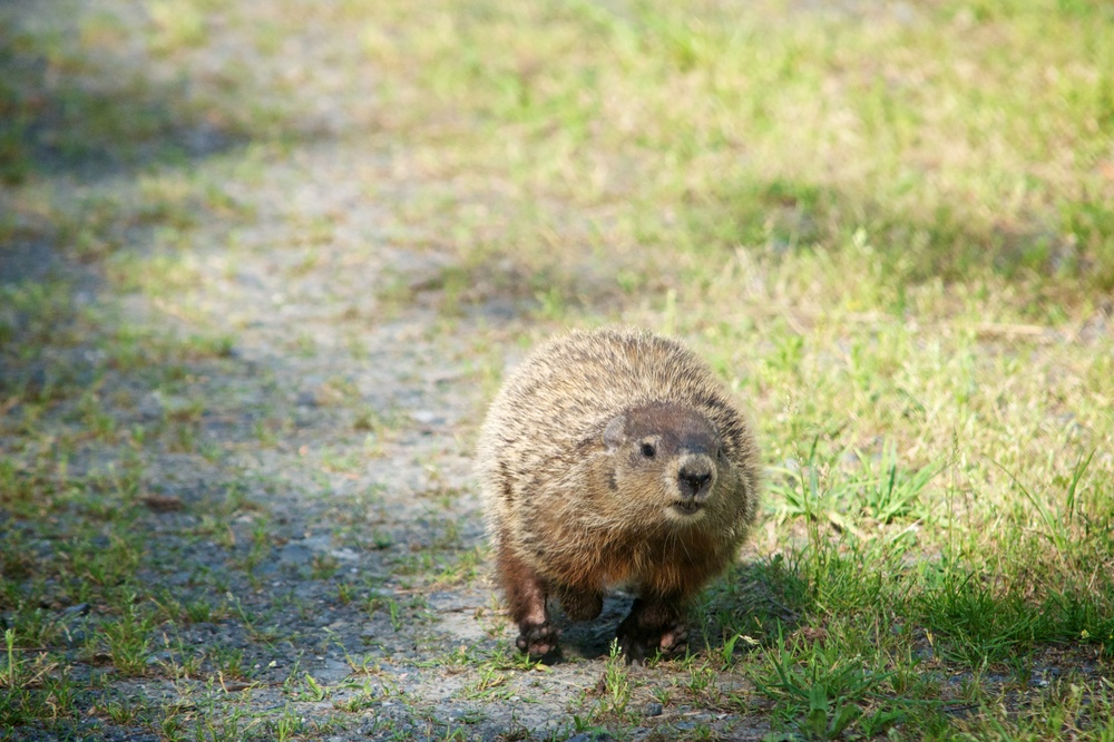 Groundhog (1).jpg