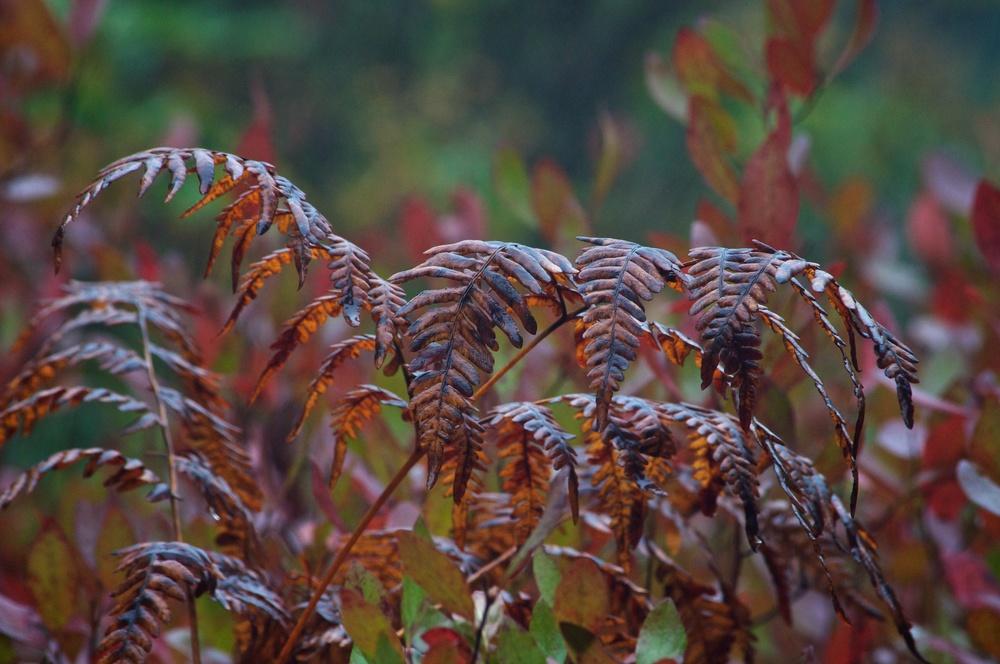 nature, plants, ferns, fall, fall colors, autumn