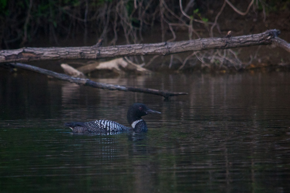 nature, wildlife, animal, bird, waterfowl, loon, common loon