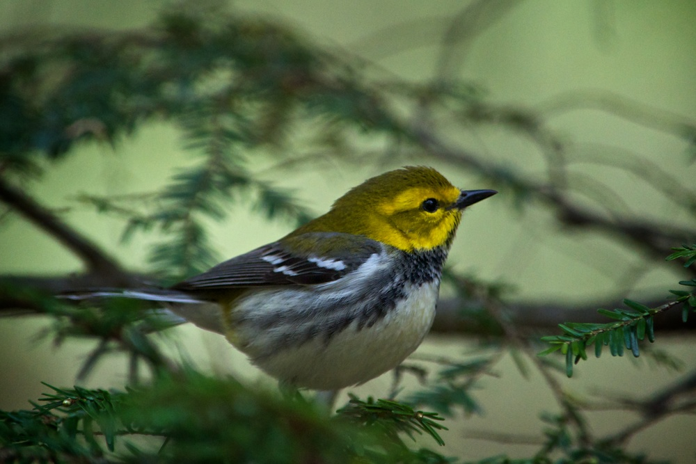 nature, wildlife, animal, bird, warbler, black-throated green warbler