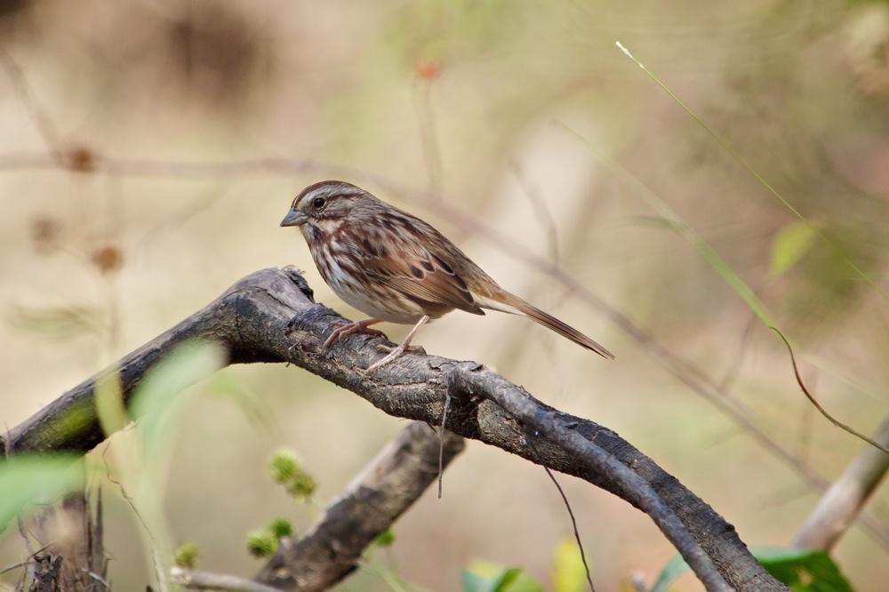Song Sparrow (1).jpg