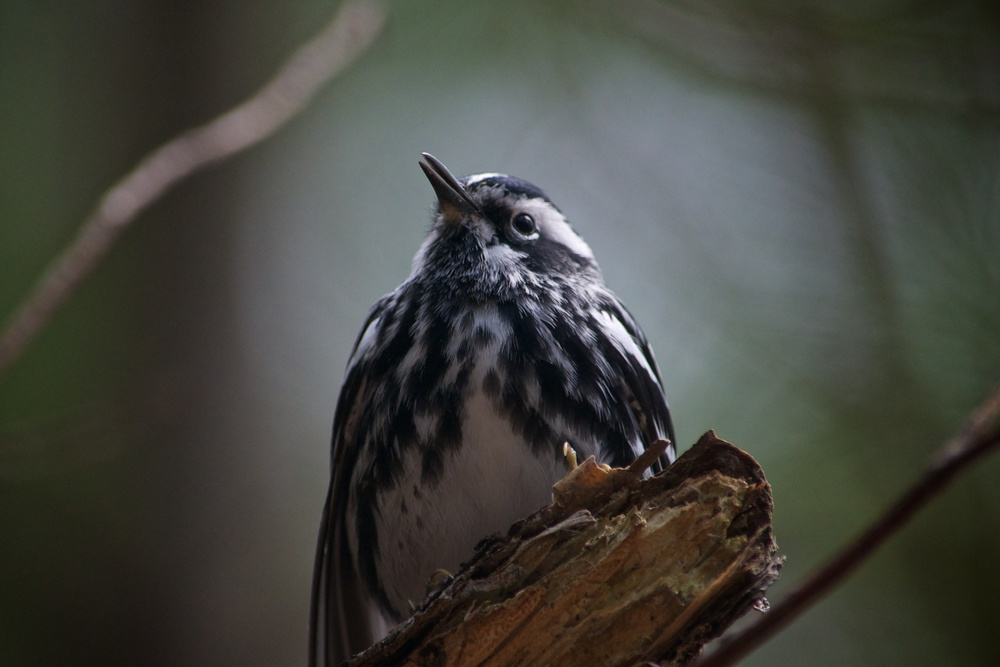 nature, wildlife, animal, bird, warbler, black-and-white warbler