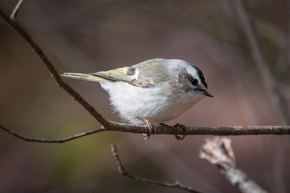 nature, wildlife, animal, bird, kinglet, golden-crowned kinglet