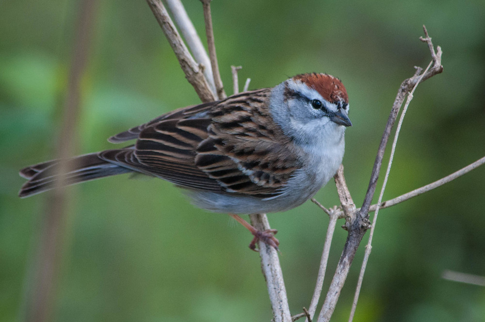 Chipping Sparrow-2.jpg