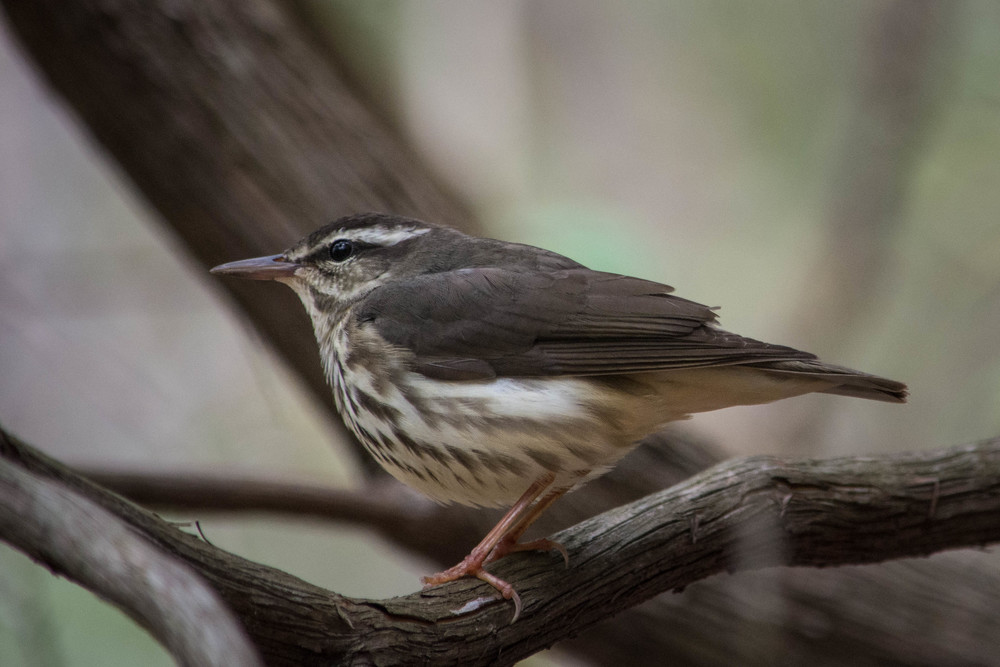 Louisiana Waterthrush.jpg