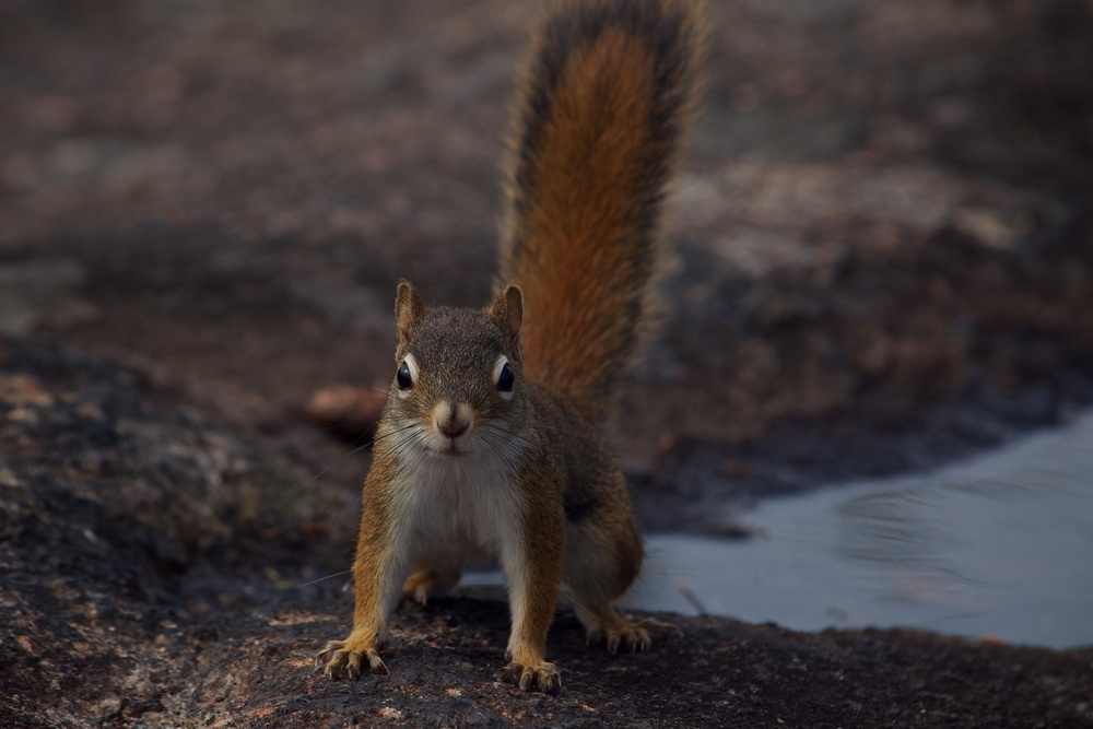 nature, wildlife, animal, mammal, rodent, squirrel, red squirrel