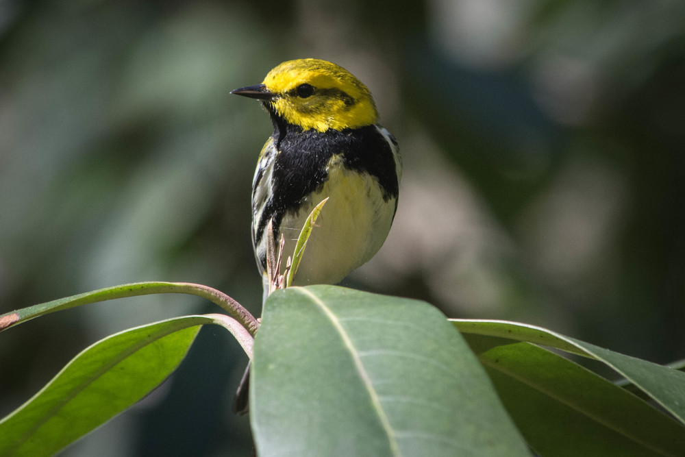Black-throated Green Warbler.jpg