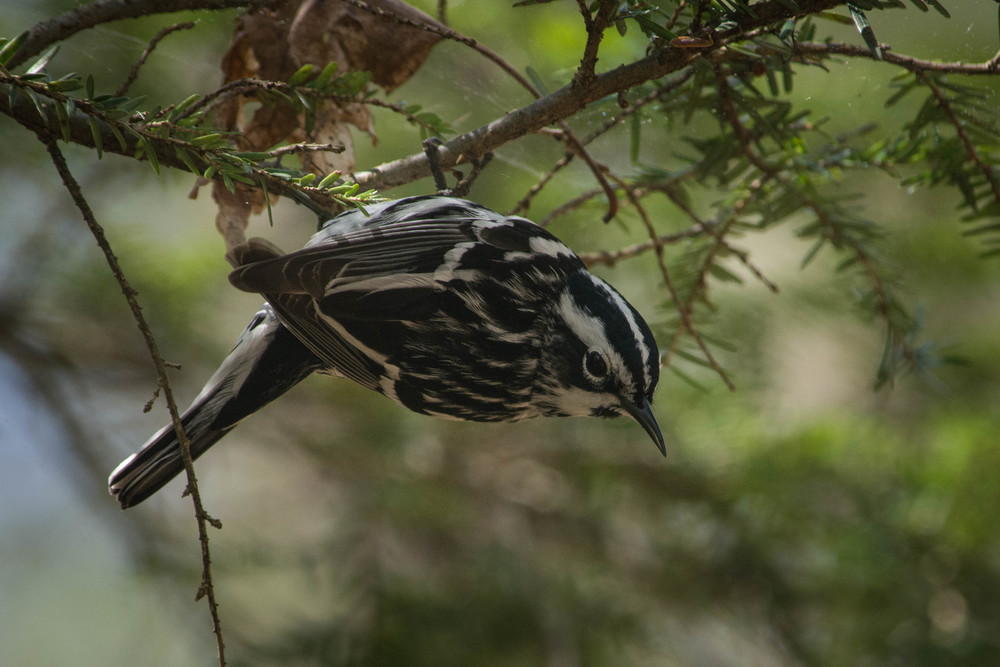 Black-and-white Warbler-3.jpg