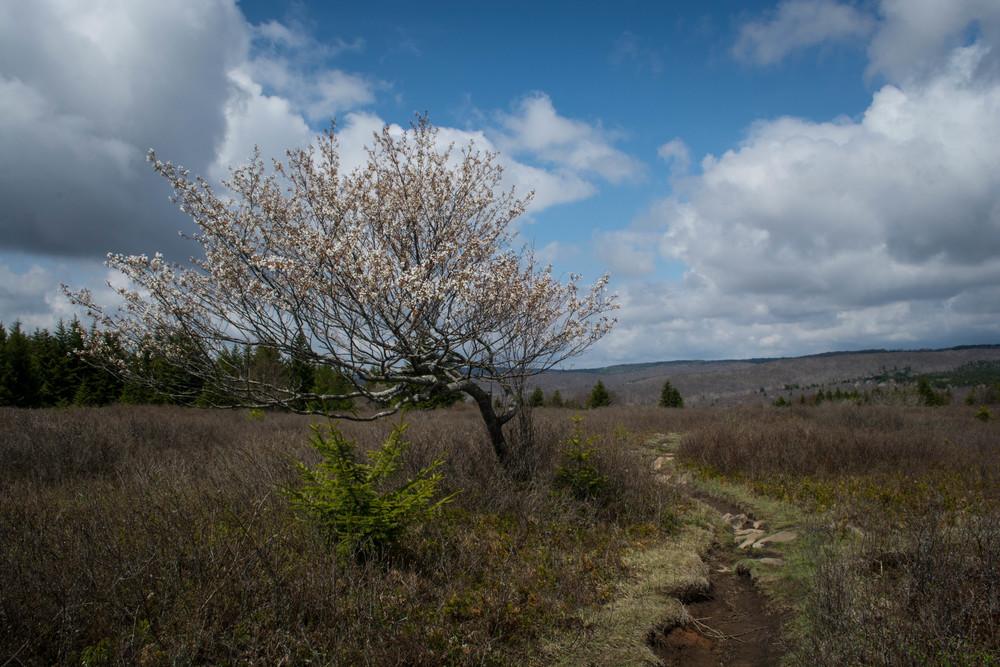 nature, landscape, tree, trail, path, sky, clouds, monongahela, dolly sods