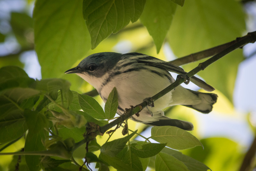 Cerulean Warbler-7.jpg