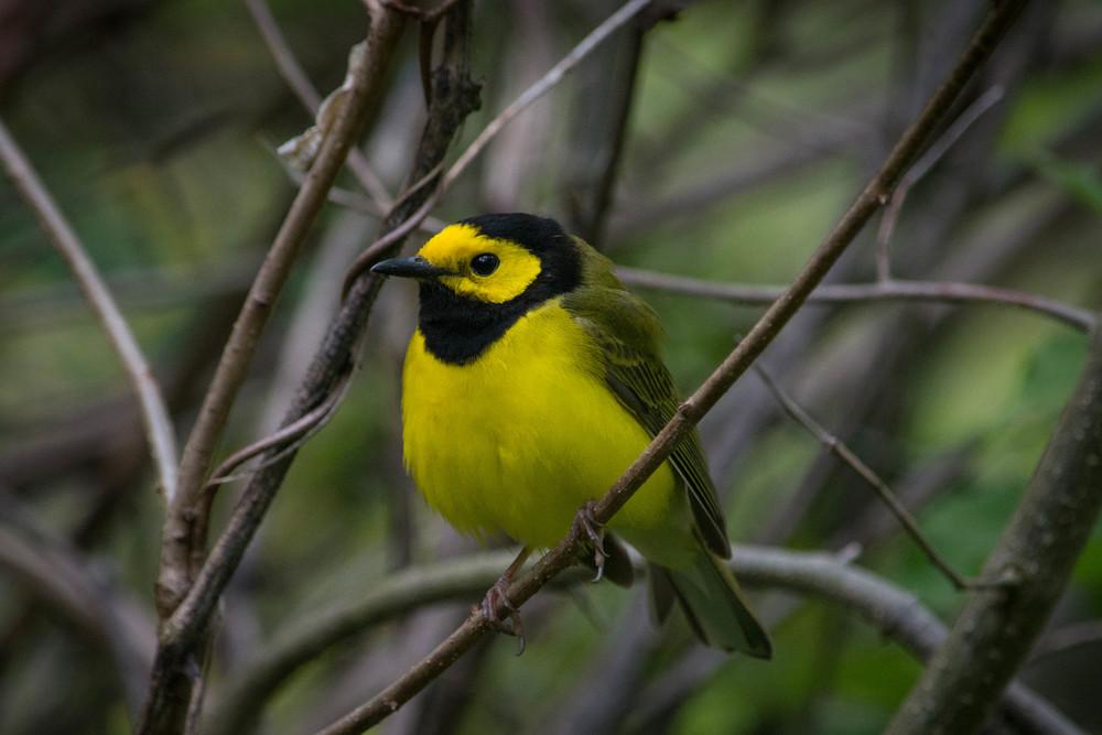 nature, wildlife, animal, bird, warbler, hooded warbler