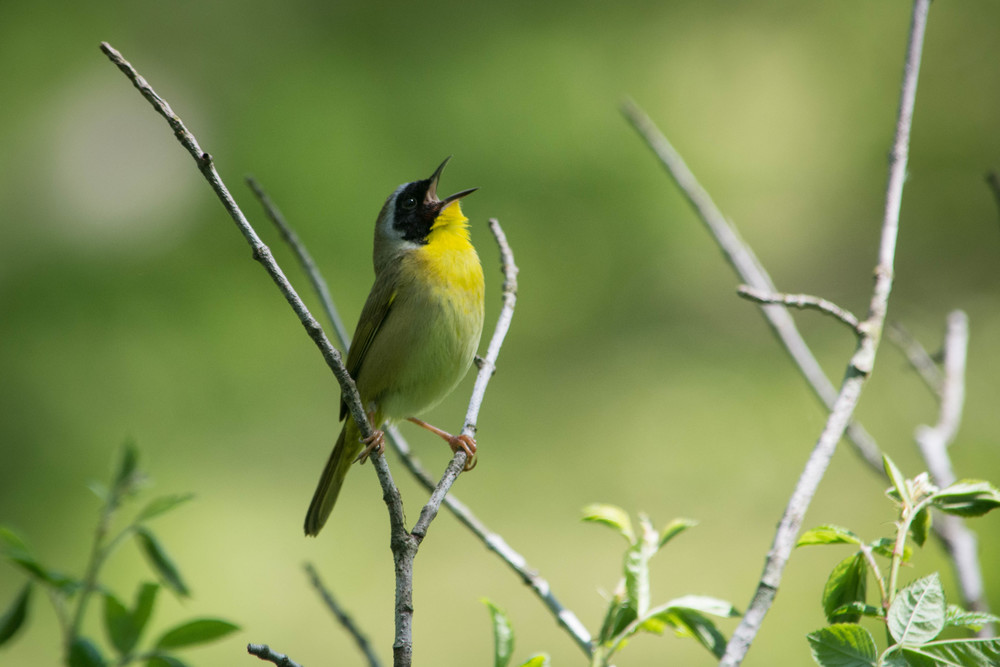 Common Yellowthroat-2.jpg