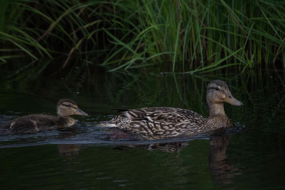 nature, wildlife, animal, bird, duck, mother, duckling, black duck, american black duck