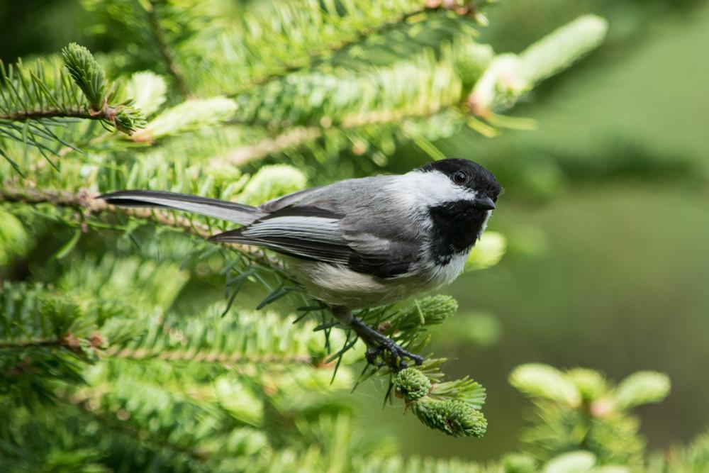 nature, wildlife, animal, bird, chickadee, black-capped chickadee