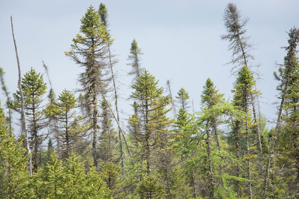 nature, trees, forest, pine trees, bog, boreal