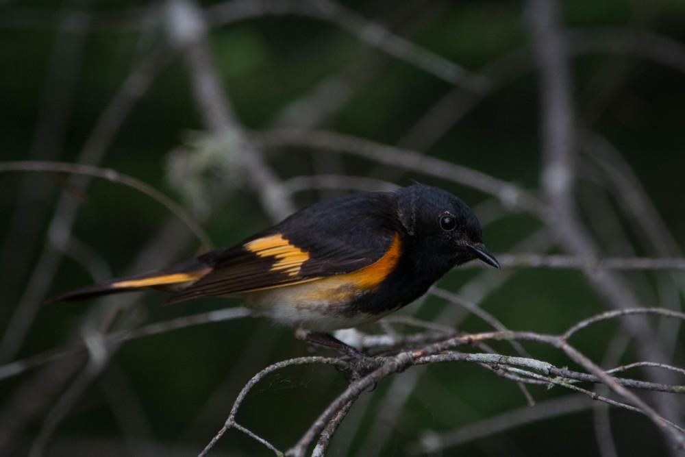 warblers in the adirondacks, adirondacks warblers, nature, wildlife, animal, bird, warbler, redstart, american redstart