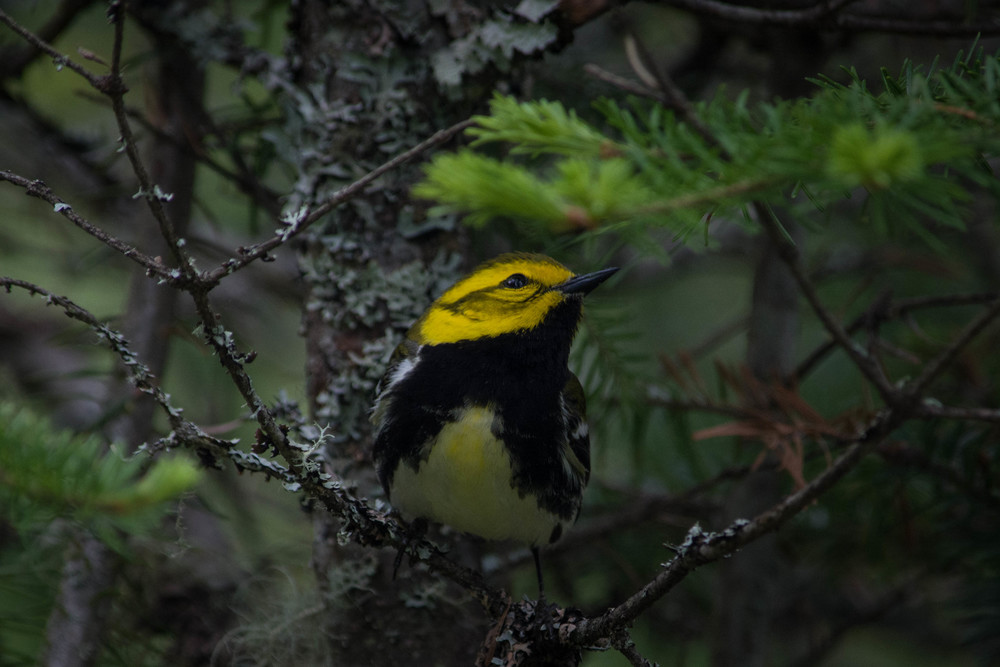 warblers in the adirondacks, adirondacks warblers, nature, wildlife, animal, bird, warbler, black-throated green warbler